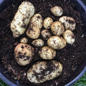 A harvest of new potatoes